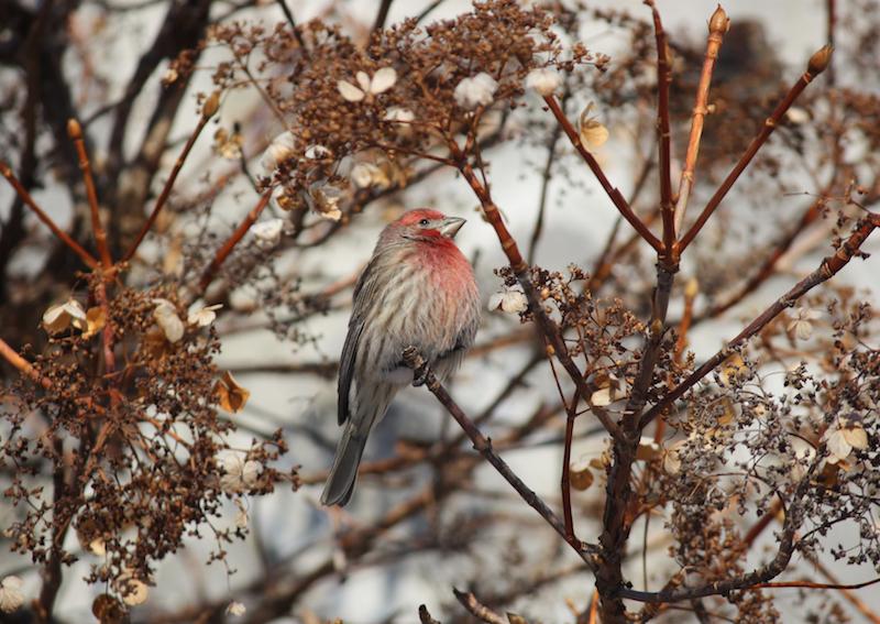 Recensement des oiseaux de Noël