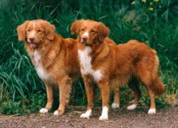 Le Nova Scotia duck tolling retriever