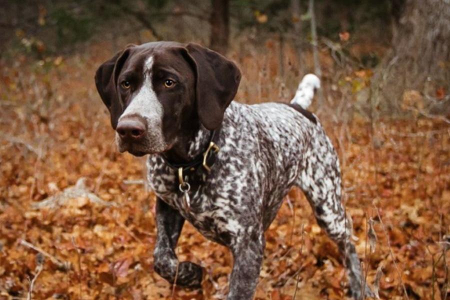 Initiation à la conduite de chien de sang (en ligne)
